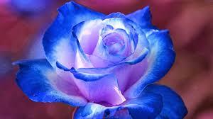 FL_blueRose